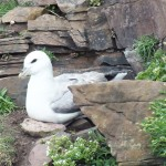 Fulmar nesting in cliffs
